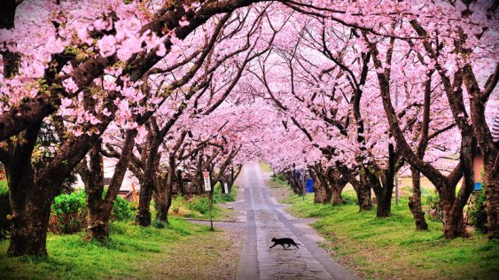 cherry_blossom_wp_2013_by_windylife-d5znctm